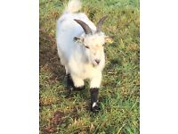 Pygmy Goat Missing Near Tiverton/ Cullompton