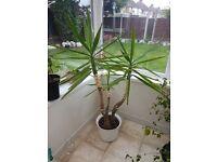 Yucca Plant 130cms tall