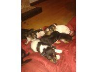 8 dachshund terrier cross pups. vet examed,