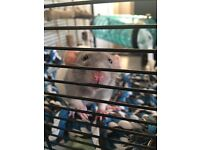 RATTY & Cage. Only 6 months old.