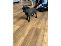 Pug puppy 4 months old girl