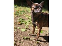 Female Chihuahua for sale - cute chihuahua for sale called velvet