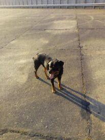 Rottweiler for sale 300 £