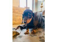 Miniature short haired Dachshund pups