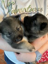 Malamute x Norwegian elkhound puppies for sale