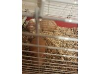 2 guinea pigs for free with cage etc