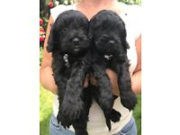 We have 2 out of 4 black f1 cockapoo puppies for sale. 1 bitch and 1 dog.