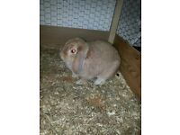 Beautiful Light Brown Female Mini Lop Rabbit For Sale