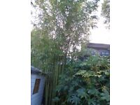 TROPICAL GARDEN PLANT GOLDEN & BLACK BAMBOO ROOTS/SHOOTS FRESHLY DUG - £7 ONLY - LISTING 2