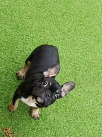 Kc Black and Tan 4 month old French bulldog