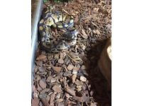 9m female Normal Royal python + full set up