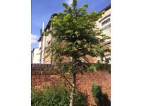 Pine tree H4m