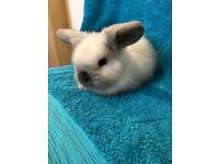 Beautiful pure bred mini lop ready this week