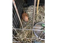 Guinea Pigs (two) free to a good home