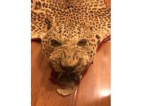 Antique Taxidermy leopard rug
