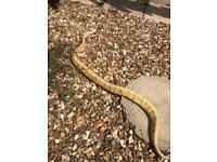 Spinner blast royal python