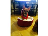 Chihuahua looking for temporary home with other dog possibly chihuahua in barking Dagenham /london