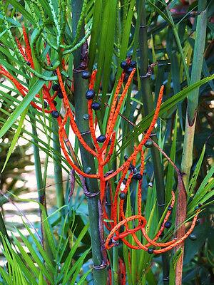 Chamaedorea seifrizii Bambo Palm Reed palms ornamental home plant seed 100 seeds