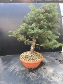Quality Picea Kosteriana Green Raw Bonsai Material