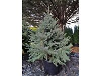 ((Sale)) Christmas trees, spruces, Picea Pungens f. Glauca