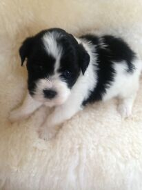 Adorable Bichon x Lhasa puppies