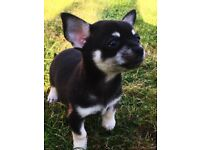 Unique gorgeous KENNEL CLUB registered long hair chihuahua puppy for sale