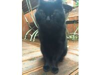 Missing Black Tom - Brunie, Melyn area of Neath since April 13th 2017