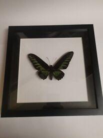 Taxidermy Ornithoptera Trogonoptera
