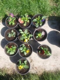 Potted pansys. 1ltr pot. Blotched mixed colours.