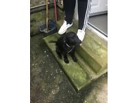 £350!!! 3 month old! Black Labrador female, pedigree.