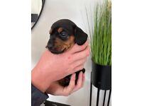 Dachshund Girl Puppy