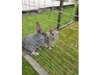 Baby rabbits dwarf mix