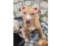 Merle XL bully puppy