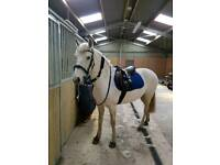 Gorgeous 10 year old Connie mare for sale