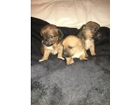 T cup chihuahua x jack Russell puppy's for sale