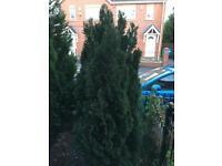 Free Conifer Tree 🌲