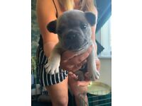 Beautiful KC registered french bulldog for sale