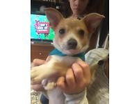 Chihuahua x