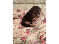 Yorkshire terrier cross Lhasa apso puppies