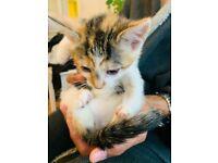 Gorgeous girl half tabby half Bengal kitten for sale