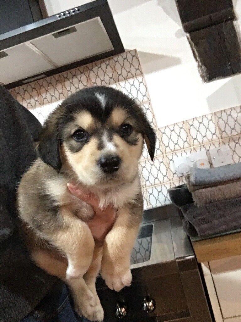 Truly Beautiful Alaskan Malamute X Spaniel Puppies For Sale | in Bungay,  Norfolk | Gumtree