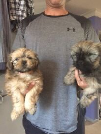 Adorable Shitzu pups