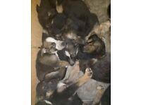 10 german shepherd puppies