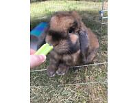 Male neutered lop ear rabbit