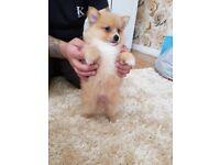 Pomeranian teddy bears poppys for sale