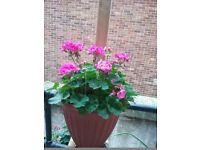 Large Geranium plant - Pink