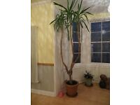 Large 8ft house plant