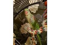ALEXANDRINE BIRD FOR SALE BIG CAGE