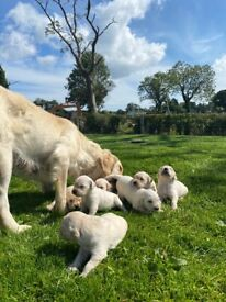 KC Golden Retriever Pups for Sale