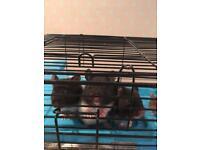 Syrain hamsters